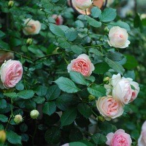 这么浪漫的爬藤你见过吗?待到鲜花烂漫时,你在丛中笑