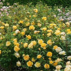 让花朵爬满整个墙,让自己置身花海中,8款爬藤为你打造浪漫气息