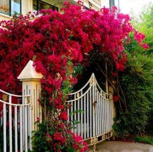 七种爬藤花卉,现在种上,明夏就能爬整座阳台