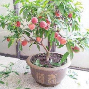 最易爆盆的11种水果盆栽,阳台任意盆栽一种,常年结果吃不完