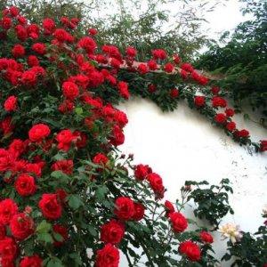 庭院种上这几种爬藤花,风景如诗如画,浪漫一辈子
