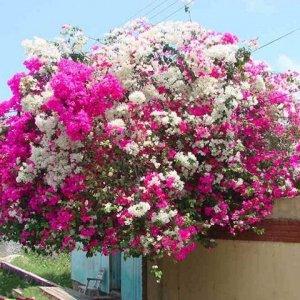 比香水还要香的6种花,放一盆在阳台上,满屋子都飘香