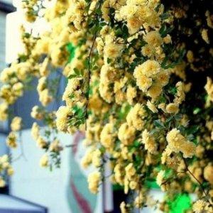 小院空着太浪费,种上一株浪漫的爬藤,悄悄的爬满了你的院子