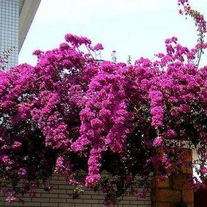 适合南北方好养易活的8种爬藤植物,种在庭院夏季还能当凉棚乘凉