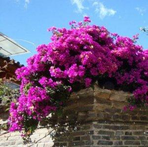 阳台种这8种植物,不仅漂亮,年年夏天都能隔热降温