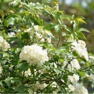 很简单的爬藤植物,只要一开花,阳台就成花海
