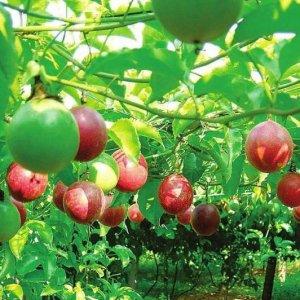 好养易活的9种水果盆栽,在家阳台种几棵,水果一年到头都吃不完