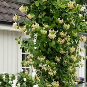 这么美的爬藤植物,能赏花还能遮阴,美翻了