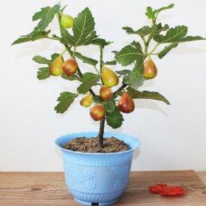 最适合阳台盆栽的水果,种上一棵当年就结果,想吃水果任性摘