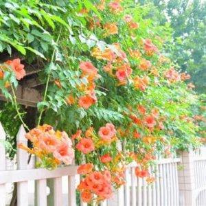 8种最适合家里小阳台盆栽的爬藤花卉,你喜欢哪种?