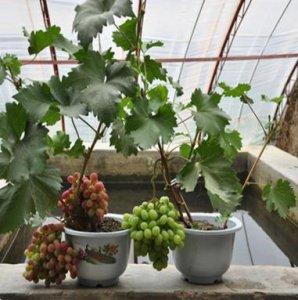 别看阳台小,适合室内盆栽的这几种水果,好养活产量高
