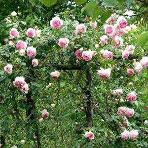 阳台挂满了小灯笼,原来都是因为种了第七种爬藤花