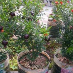 养花不如种水果,这12种水果盆栽,好养又健康