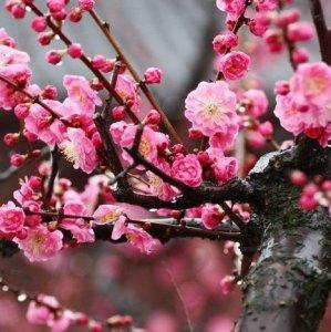 最适合秋季种植的5种梅花,摆放客厅和阳台,唯美怡情还养眼养人