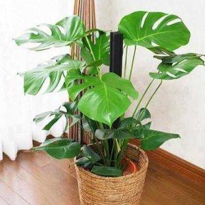 几乎没人知道,家里摆上这几款植物,家人的身体越来越健康了