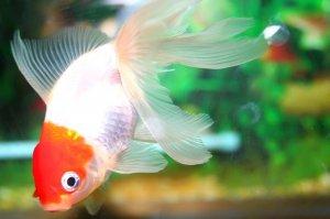 自家养金鱼为什么容易死,教你几招做好鱼缸消毒,让鱼儿健康成长