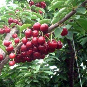 这10种果树也适合阳台盆栽,好养结得多,水果一年四季不用买了