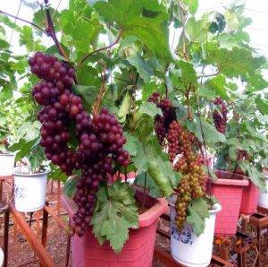 植物盆栽已经不流行了,现在流行水果盆栽,不但美丽还有果子吃