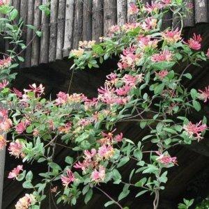 阳台种上这样的爬藤,开花满园飘香,美不胜收