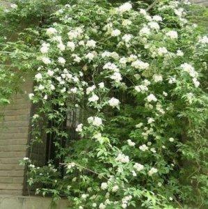 阳台攀援爬藤植物就属这几种,好养易活,养一株随便都能活几十年
