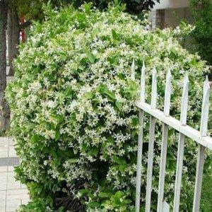 家居养爬藤植物是最省心的,四季都开花,种一棵就拥有整年的花赏