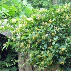 栽种一株爬藤花卉在庭院,待明年春天,美景定让你陶醉