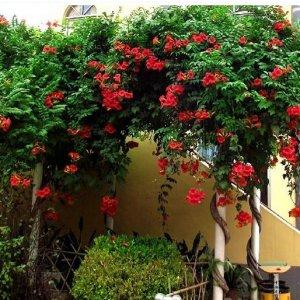 10款颜色各异玫瑰花爬藤,美了整个阳台,老婆最爱凌霄花了