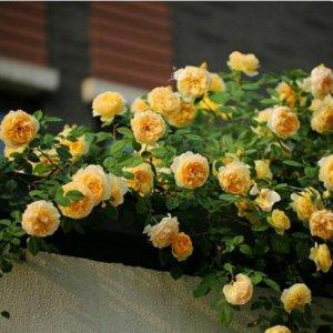 几种超美的爬藤,很快爬满花墙,让你置身花海中,别提多浪漫