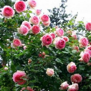 适合阳台庭院种植的9种爬藤,不用怎么打理也能一年四季开满花朵