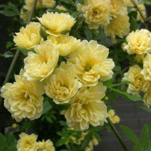 这6种的爬藤植物一开花就成瀑布,很简单就让阳台成为小花园