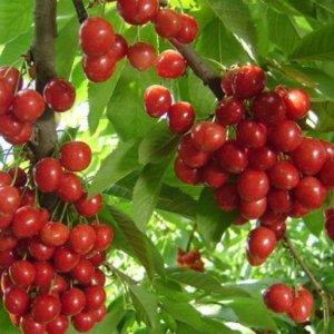 将这几种水果小盆栽养在阳台,以后想吃水果任性摘