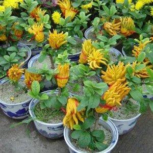 最容易爆盆的几种水果盆栽,婆婆把它买来种在阳台,水果吃到吐