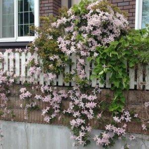 这几种爬藤现在种下,来年春天就能收获一个繁花似锦的阳台啦
