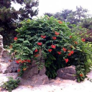 在庭院或阳台上种上这么一颗爬藤植物,瞬间提升家里的档次