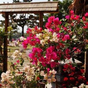 最美的几种爬藤植物,开花美美的,让你的阳台秒变小花园