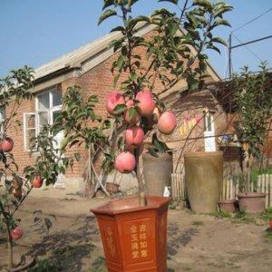 奶奶在阳台盆栽水果, 只要结一次果就省好几千块