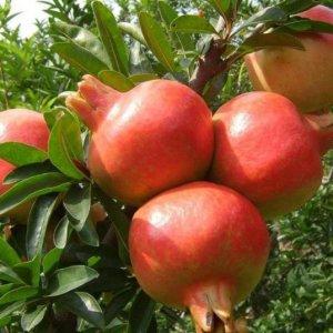 养花不如养水果,这9种阳台盆栽的水果,新手种下去也能吃个饱