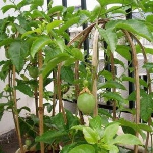 水果别买了?阳台盆栽这9种爱爆盆的水果盆栽,想吃多少都行