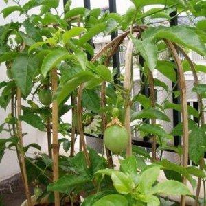最适合阳台盆栽的水果,种上一棵当年就结果,好吃又好看还省钱