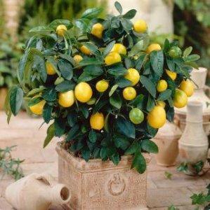 最好种的10款盆栽水果家里有庭院、阳台不种就可惜了