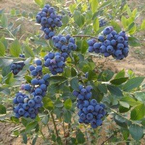 最适合阳台种植的六种水果盆栽,既能当作景观树,又能水果吃不完