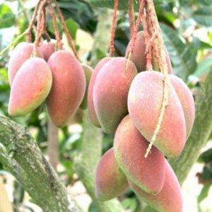 家有阳台,一定种上这几款果树,一年四季吃不完,想吃随手摘