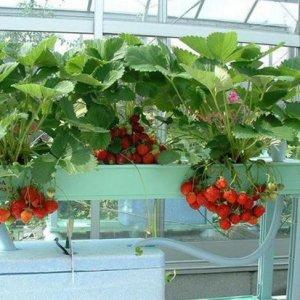 阳台种上这些水果盆栽,水果一年到头都吃不完
