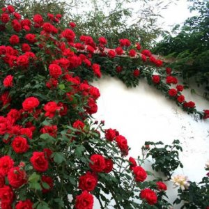 现在流行小洋房,庭院没有种点爬藤植物你的别墅不算完美