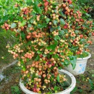 想在家里空地种点植物?这8款果苗最适合!好看又大气