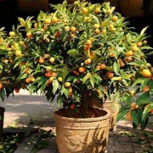 7种可以在阳台盆栽的水果,新手种下去也能轻松种出果子