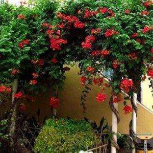 这些爬藤植物,高端大气上档次,阳台种植美不胜收