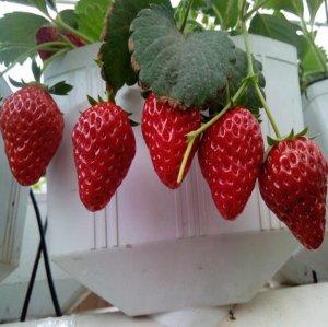 八款水果盆栽,很好养活,阳台秒变小果园