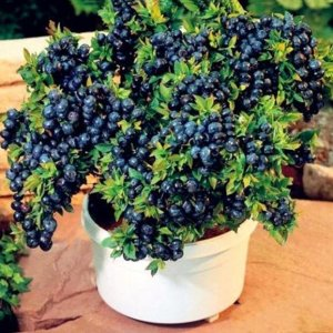 自从养了这几种水果盆栽,阳台立马变果园,鲜果吃不完