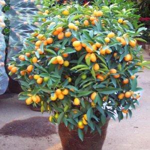 将这几种盆栽养在阳台,一年四季都有水果吃,好看又好吃